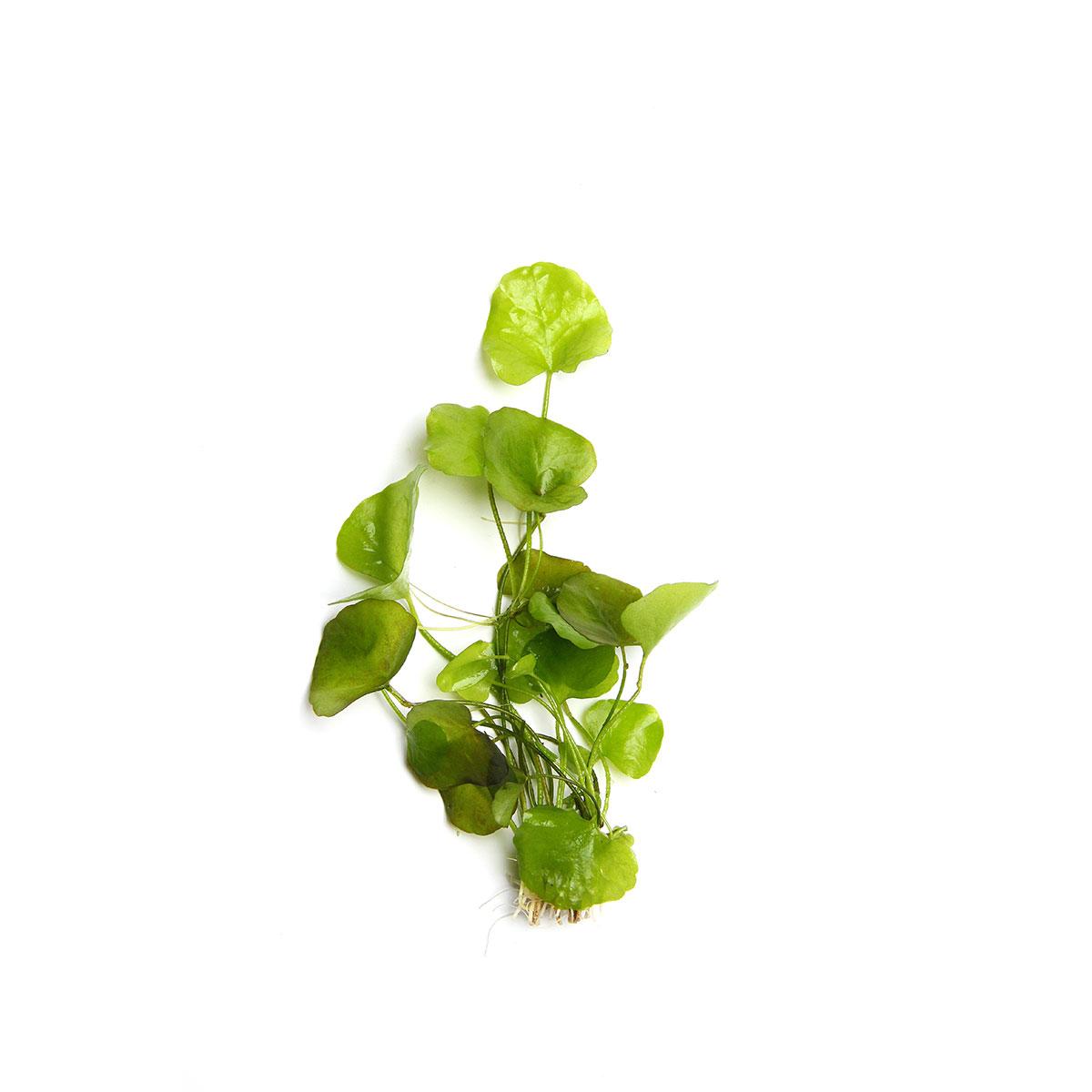 Dennerle Aquarienpflanze Nymphoides Spec Taiwan In Vitro