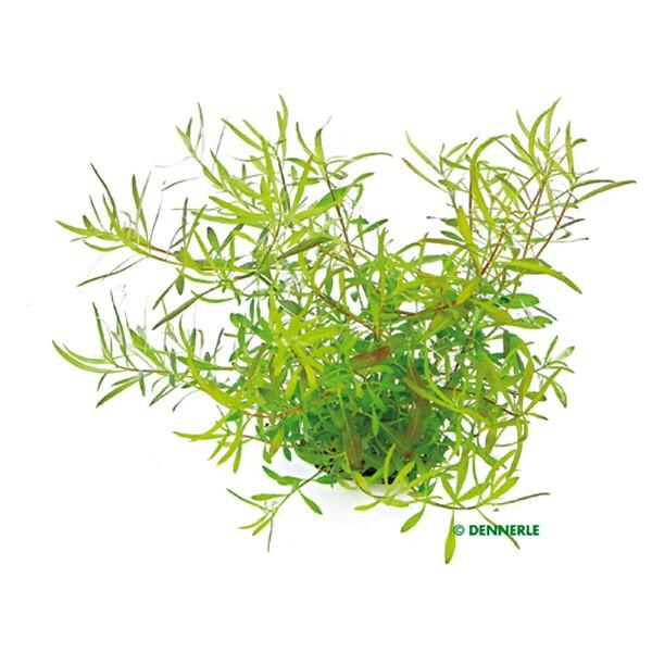 Dennerle Aquarienpflanze Ludwigia arcuata In-Vitro