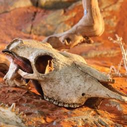 Exo Terra Buffalo Skull Terrarium Dekoration