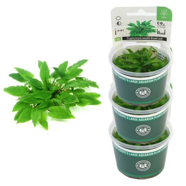 Dennerle Aquarienpflanzen Cryptocoryne wendtii ´Broad Leaf´ In-Vitro Aquarium Pflanzen