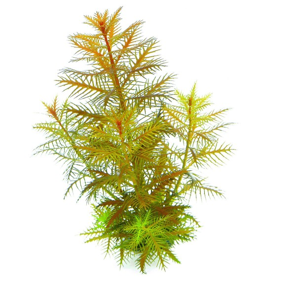 Dennerle Aquarium Pflanzen Proserpinaca palustris In-Vitro