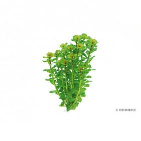 Dennerle Aquarienpflanze Rotala indica In-Vitro
