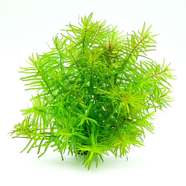 Dennerle Aquarium Pflanzen Didiplis diandra In-...