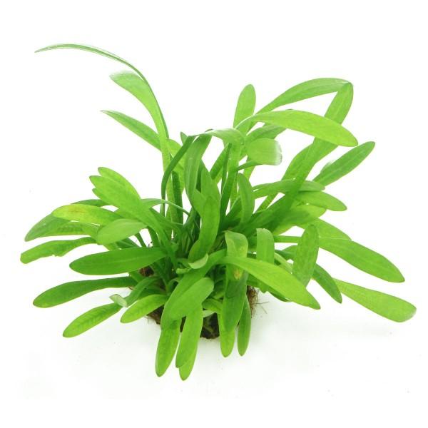 Dennerle Aquarienpflanzen Sagittaria subulata var.pusilla In-Vitro