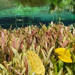 Dennerle Aquarium Pflanzen Helanthium bolivianum In-Vitro