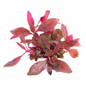 Dennerle akvarijní rostlina Alternanthera reineckii ´fialová´ In-Vitro