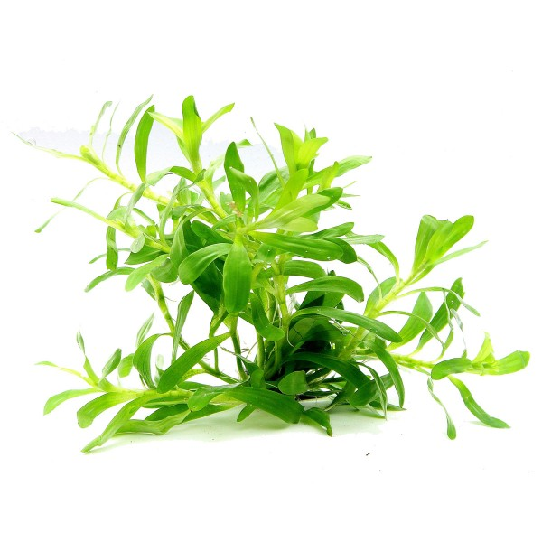 Dennerle Aquarienpflanze Heteranthera zosterifo...