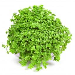 Dennerle Aquarienpflanze Hemianthus calitrichoides ´Cuba´In-Vitro