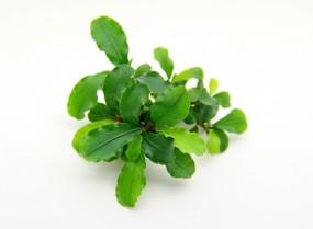 Dennerle Aquarium Pflanzen Bucephalandra spec. ´Broad Wavy´ In-Vitro