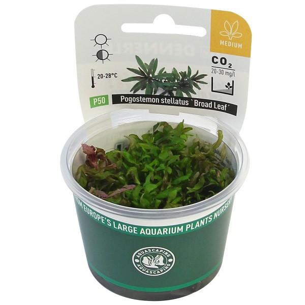 Dennerle Aquarienpflanze Pogostemon stellatus ´Broad Leaf´ In-Vitro