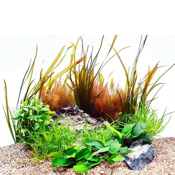 Planet Plants Aquariumpflazen Diskus einfach 14 Stück