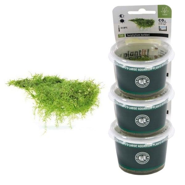 Dennerle Aquarienpflanzen Taxiphyllum barbieri In-Vitro Aquarium Pflanzen