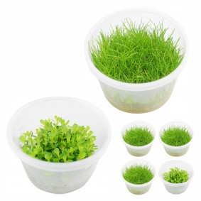 Planet Plants Invitro Cups Eleocharis & Rotala bonsai