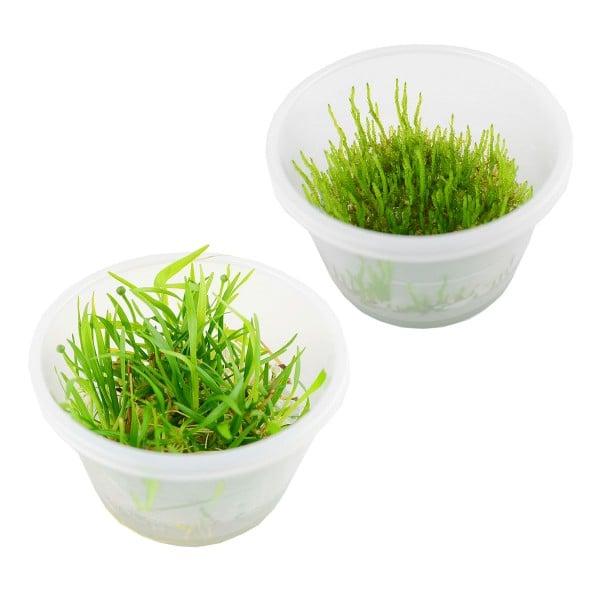 Planet Plants Aquarienpflanzen-Set 2x Flame Moos & 2x Echinodorus tenellus In-Vitro Cups